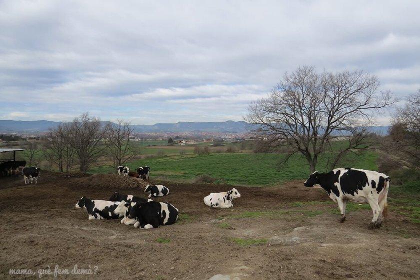 Vacas embarazadas en la Granja Cal Rei