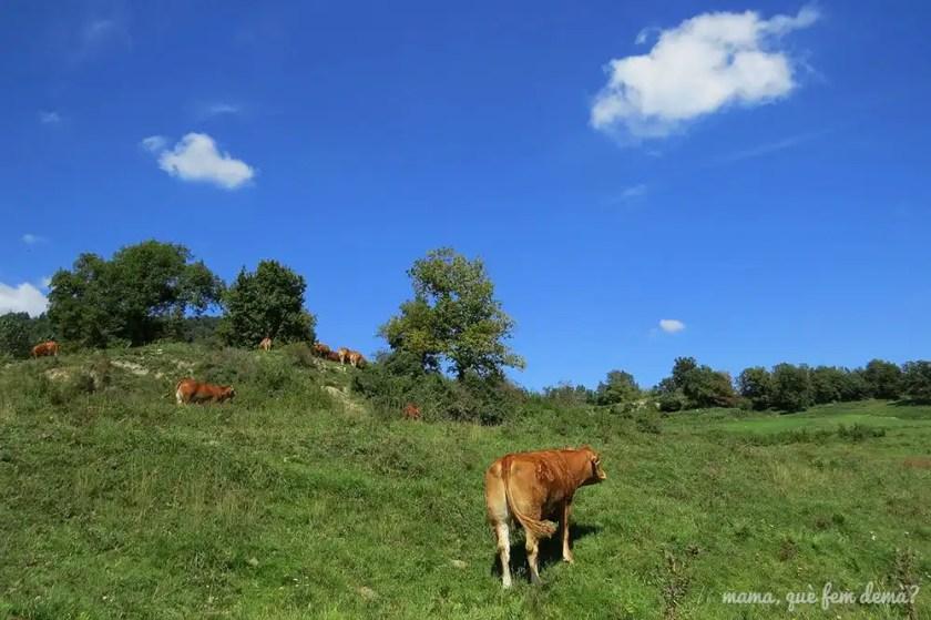 Vacas en Vidrà
