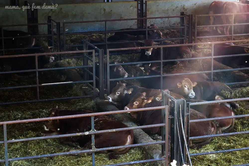 Granja de vacas en Vidrà