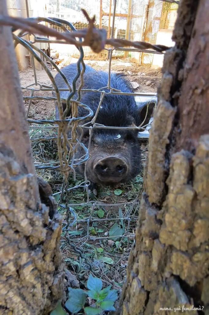Cerdo encerrado en una jaula en Castellar del Vallès