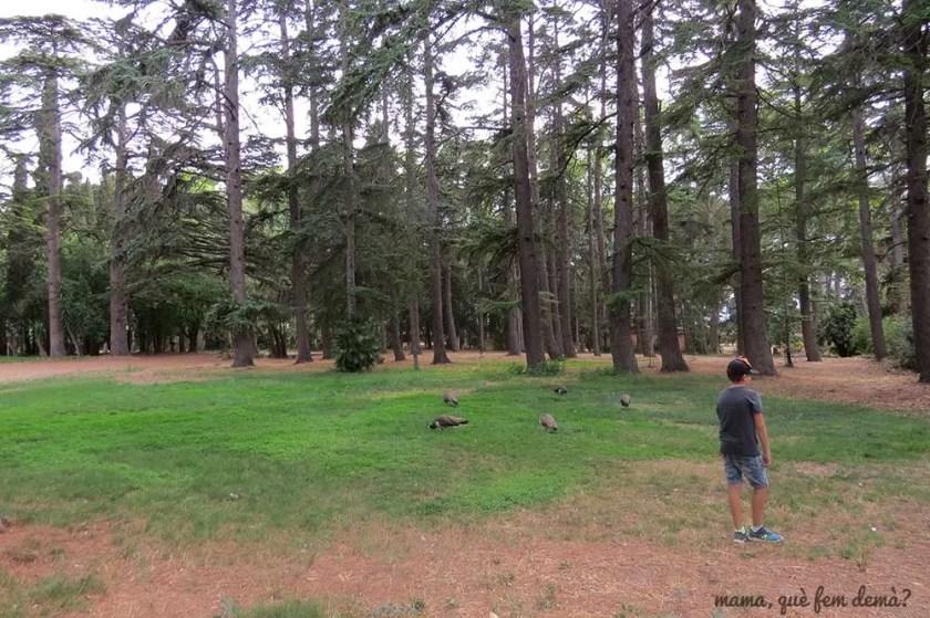 niño mirando los pavos reales en libertad en el Parc Samà
