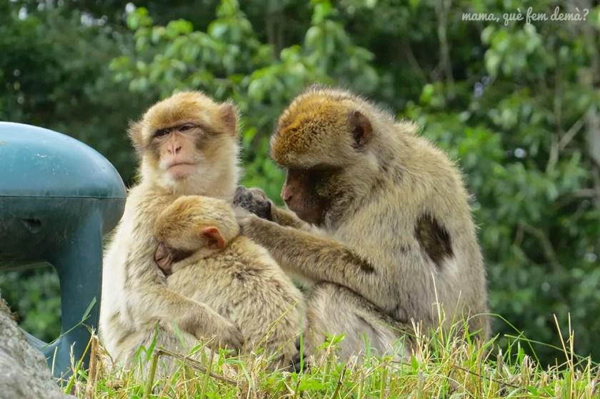 macacos en Givskyd Zoo
