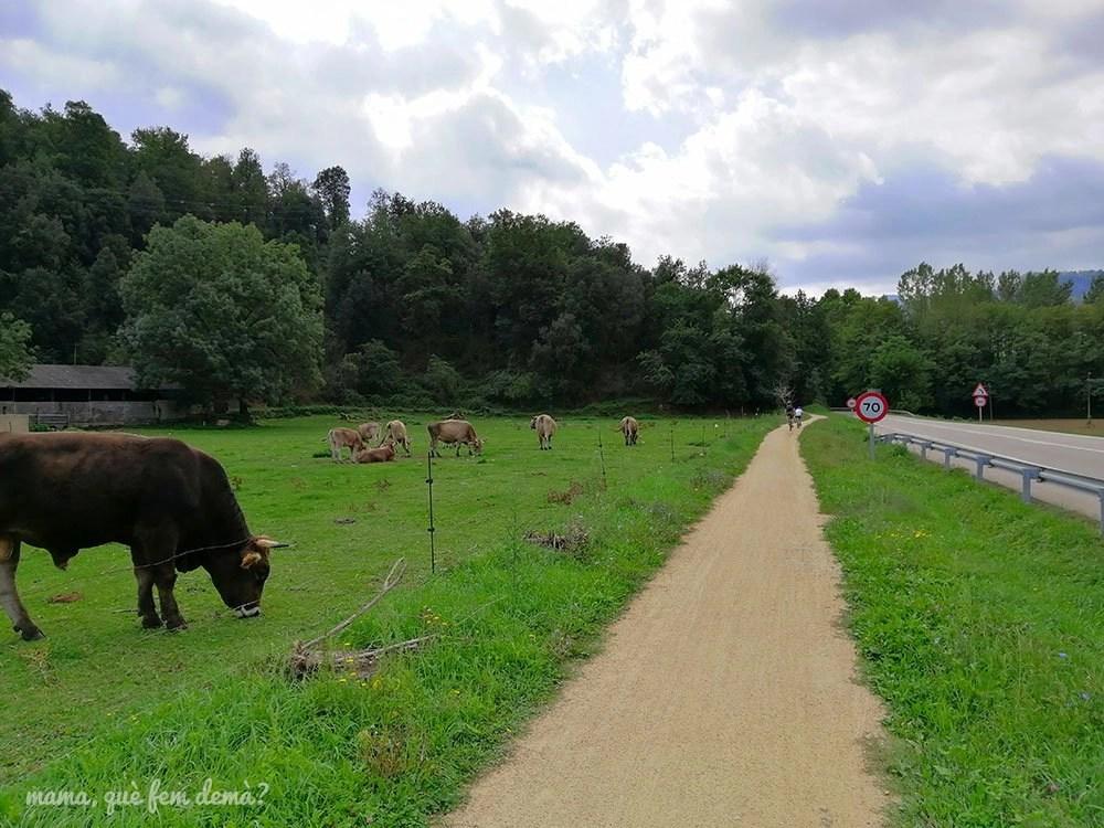 Vacas pastando al lado de la ruta del carrilet de la Garrotxa