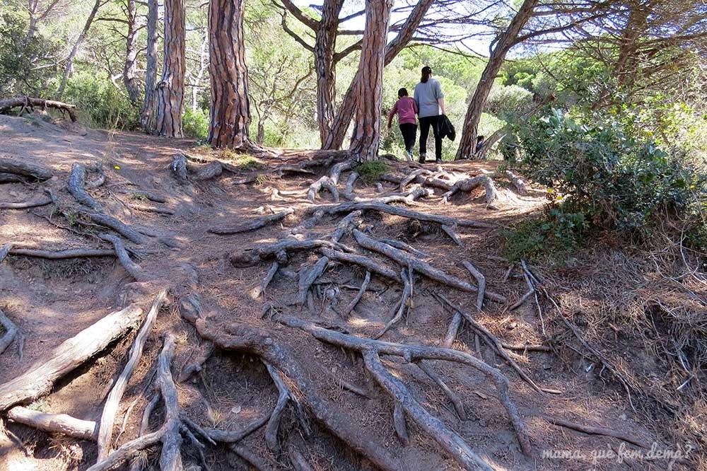 Camino de raíces en el camí de ronda de Sant Feliu de Guíxols a la platja de Sant Pol