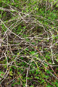 "Linda Greenhouse, Spring Entanglement 2, Archival Inkjet Photograph, 46""x34"", $900"