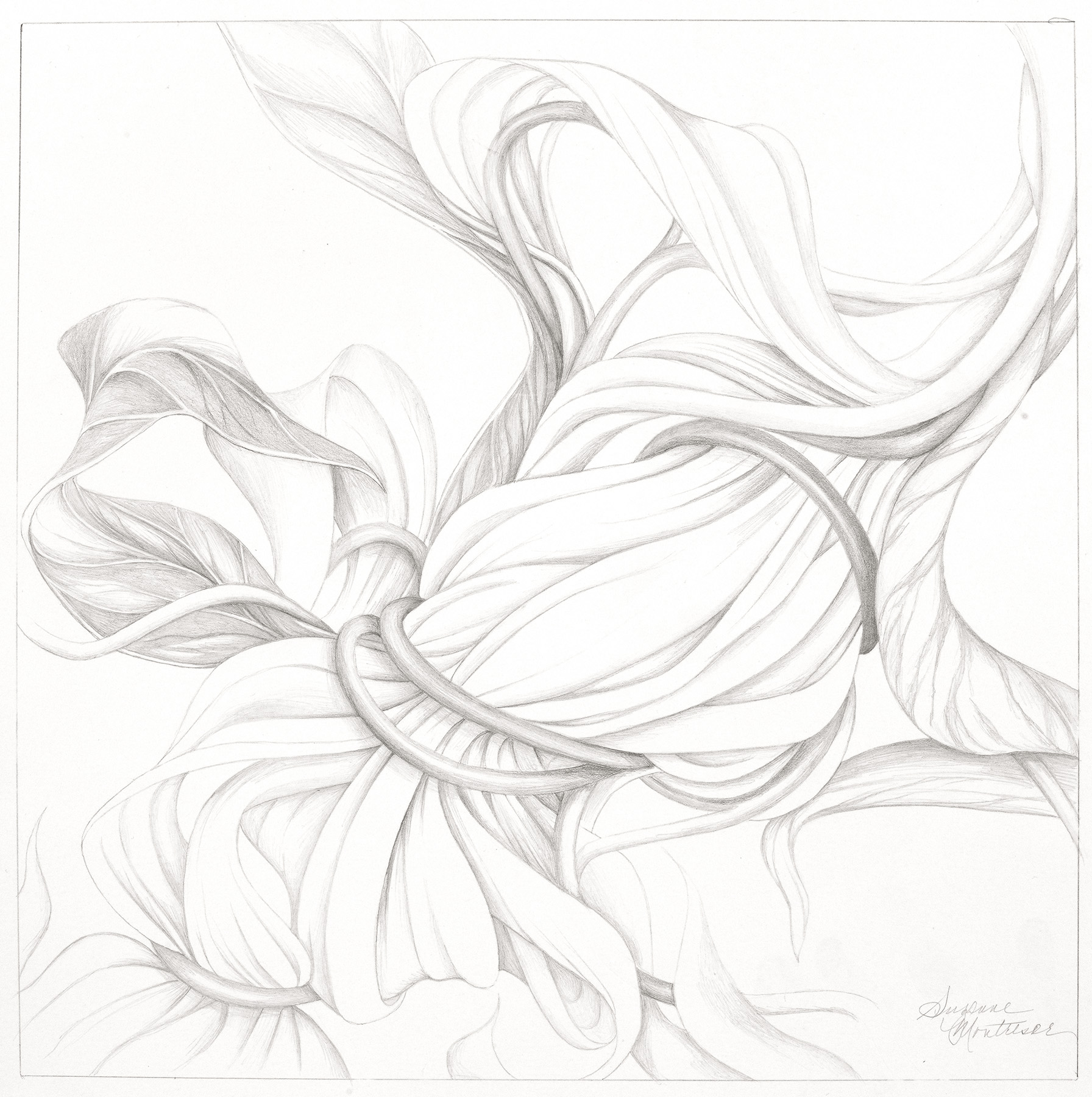 """Suzanne Montresor, Solitary Bloom, Graphite on paper, 20""""x20"""", $600"""