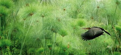 "June Greenspan, Flight Alone the Papyrus, Digital Photograph, 12.5""x21.5"", $800"