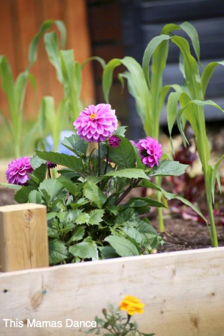 dahlia in the garden box
