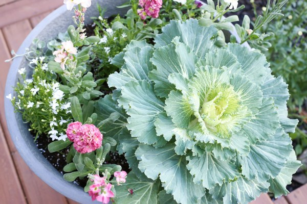 Flowering Cabbage, Vintage Stock Planter This Mamas Dance-1