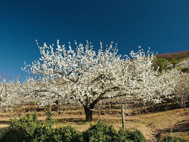 Valle Jerte Extremadura Cerezos