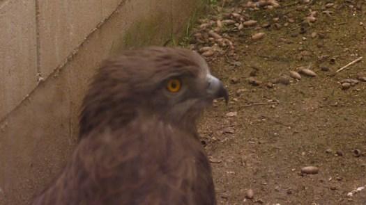 GREFA Buitre Águila Fauna Autóctona