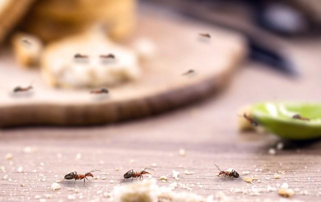 mieren in de keuken