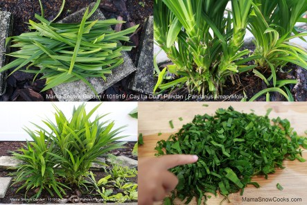 Growing & Extracting Pandan (5)