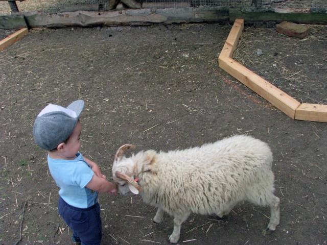 dieťa a ovečka