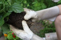 Step 4. You want to loosen the pot-bound roots. Gently pull soil and roots apart with hands.