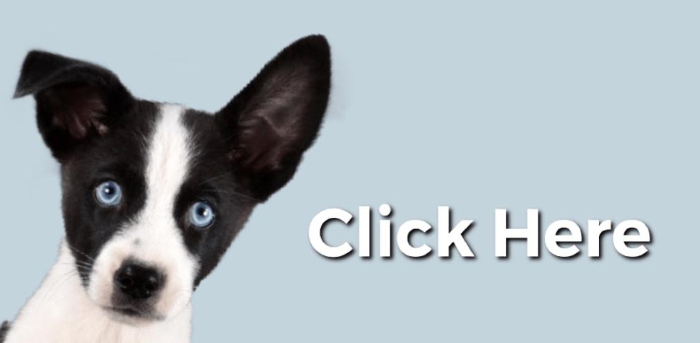 Adopt A Rescued Guinea Pig Petfinder