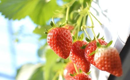 イチゴの旬は冬ではなく春だということは本当の話?