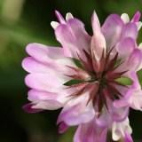 蓮華草の花の画像