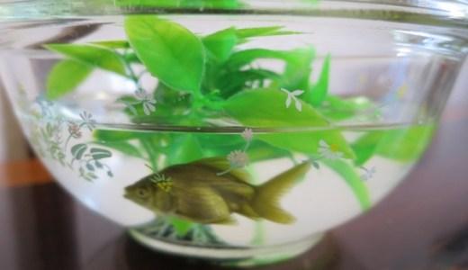 金魚すくいの金魚の飼育方法、塩がポイント?寿命は?