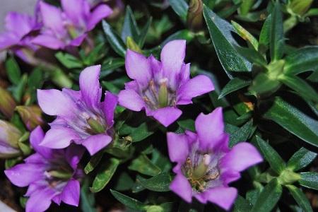 リンドウの花