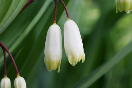 アマドコロとナルコユリの違いは? 似ている植物の見分け方
