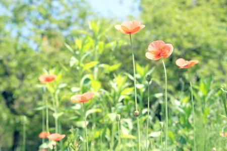 ナガミヒナゲシという雑草の駆除の仕方。いつ除草剤を撒けばいいの?