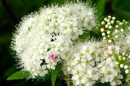 白い花が咲く紫陽花の種類があるってご存知ですか?