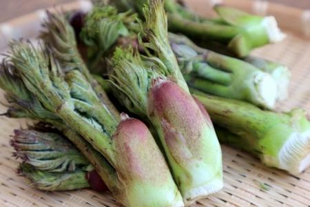タラの芽って英語で何ていうの?外国では食用されているの?