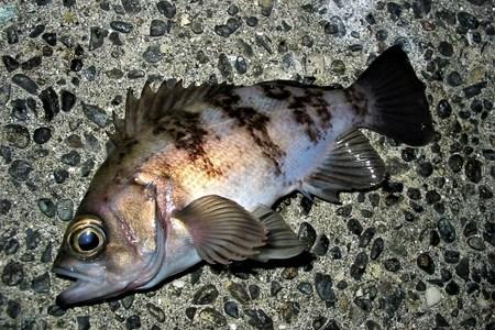 メバルって青魚?それとも白身魚なの?
