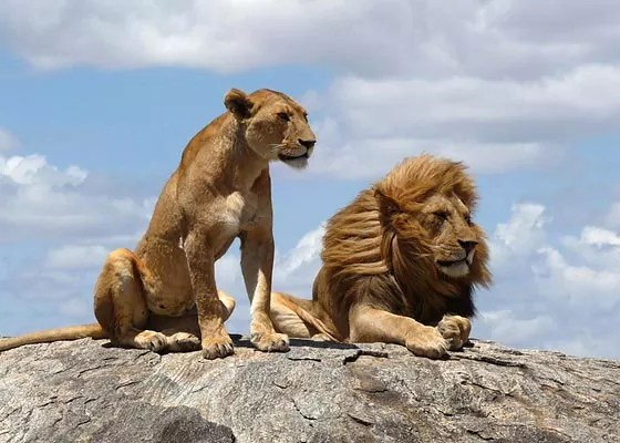 Lions - Examples of Super Excellent Photography