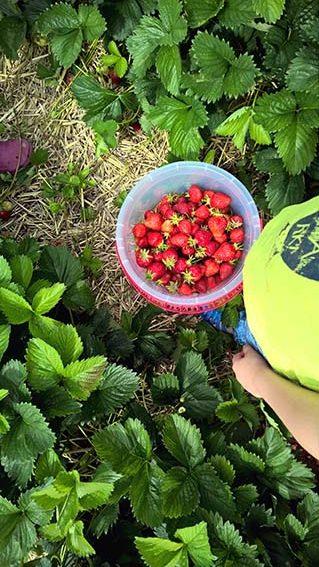 Die Erdbeere als Heilpflanze