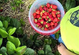 Erdbeere als Heilpflanze