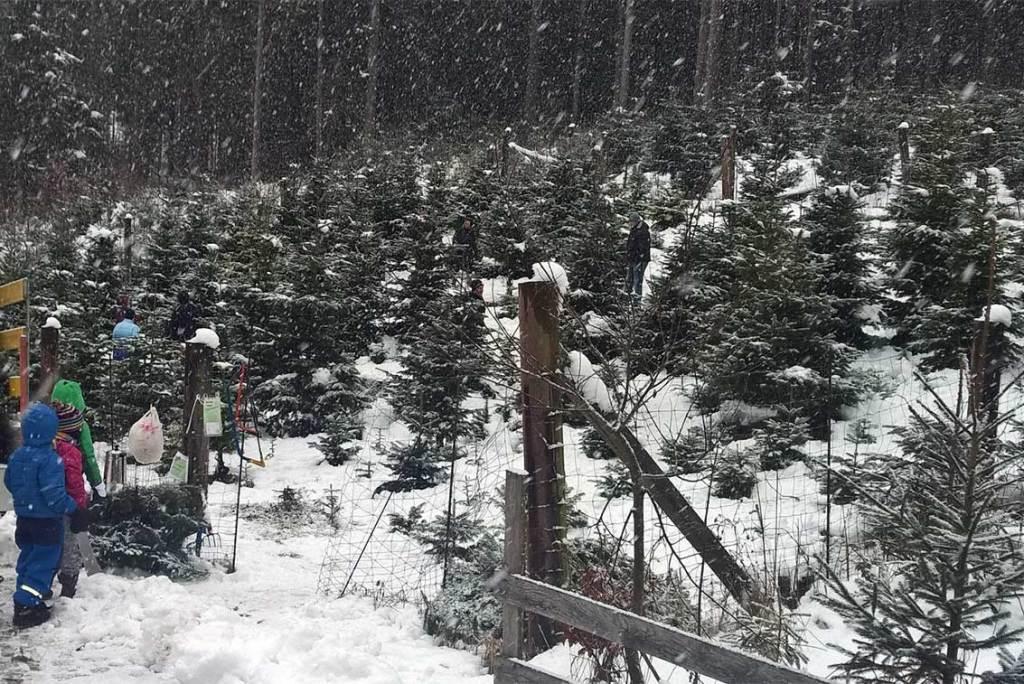 Christbaum selber schlagen: Hol Dir Deinen Tannenbaum aus dem Wald