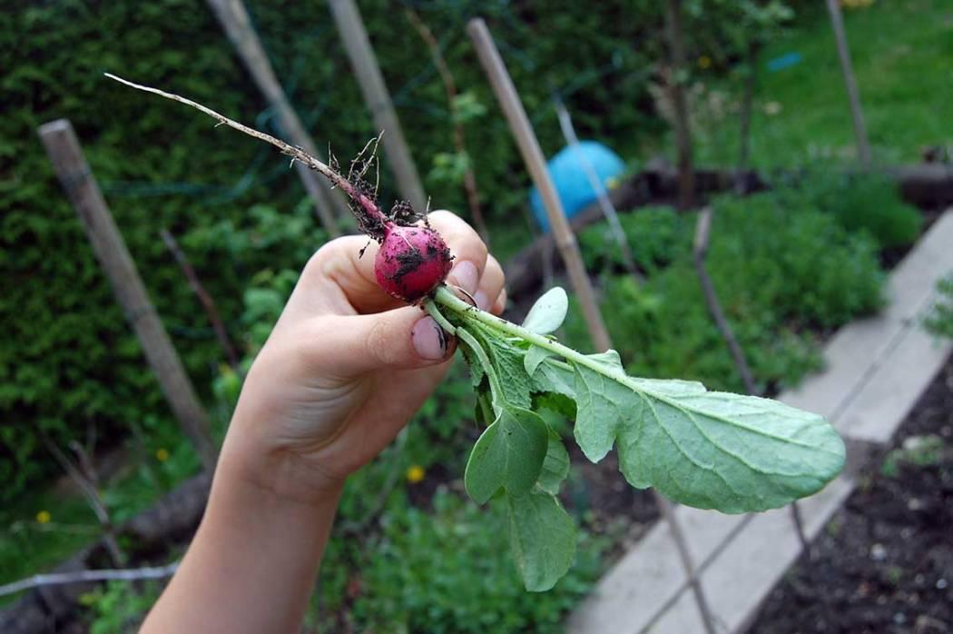 Radieschen Ernte: Ein wilder Garten zum Spielen und Ernten