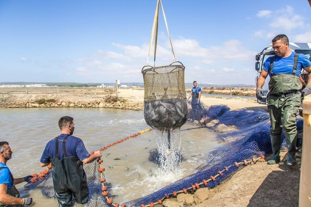 Fish is caught using traditional fishing net to reduce stress to the fish
