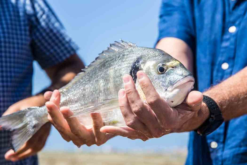 Sustainable Fish Farming Lubimar's Healthy Looking Sea Bream