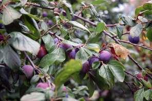 Erntezeit: Gemüse, Zwetschgen und Äpfel einmachen