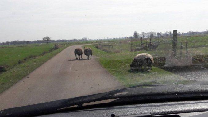 schaap op de weg
