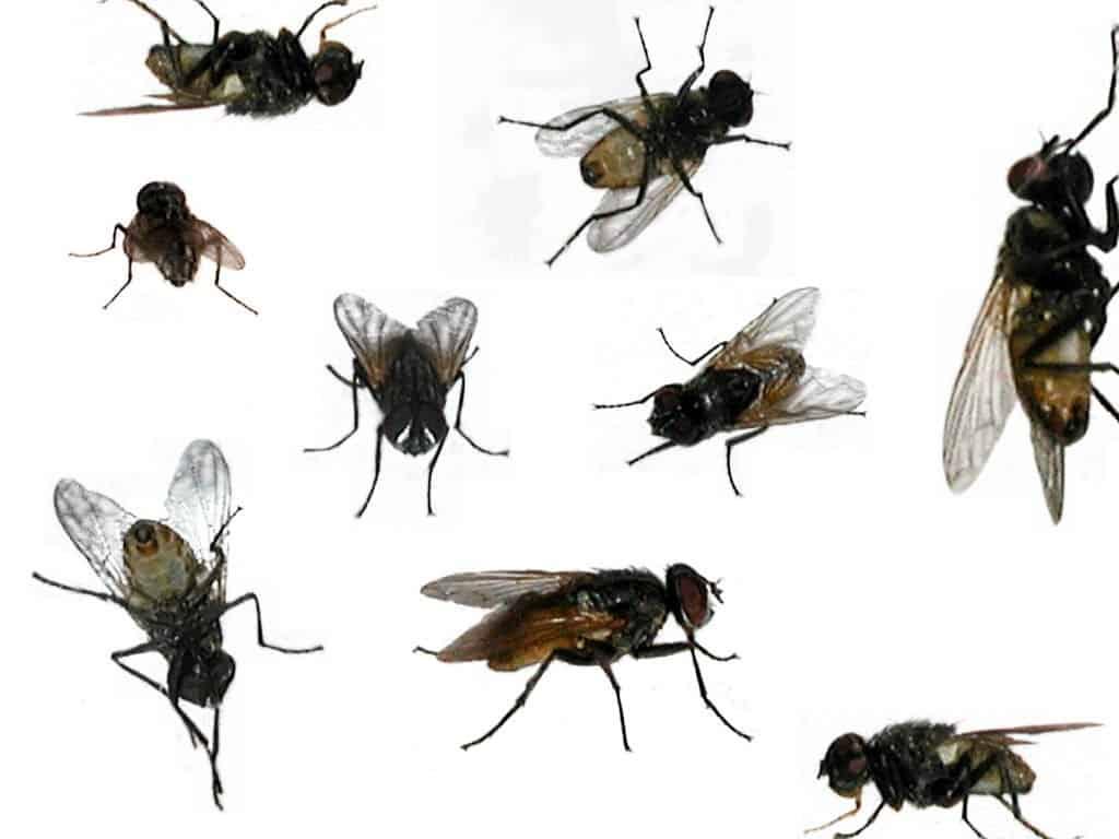 حشرات المنزل الصغيرة