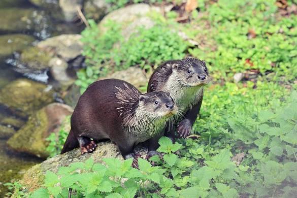 Conosciamo-la-lontra-Majambiente-C