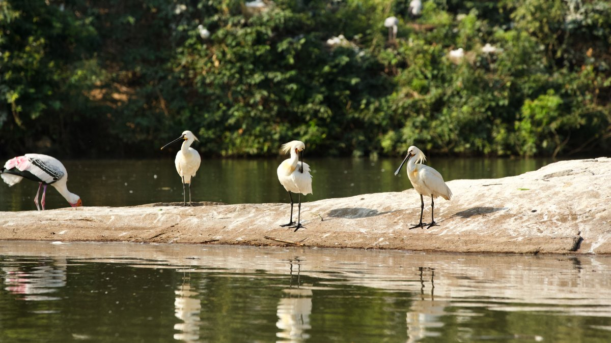 A Day Trip to  Ranganathittu Bird Sanctuary, Karnataka