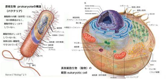 原核細胞・真核細胞