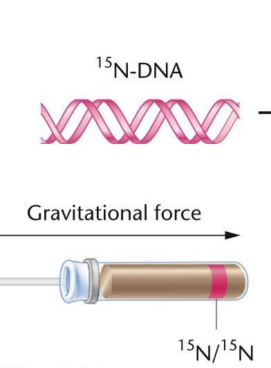 DNAの複製の仕組み-メセルセン...