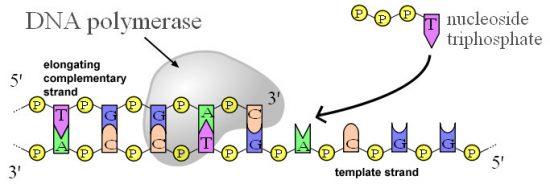 DNAポリメラーゼ
