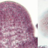 植物の組織-分裂組織・表皮組織・柔組織・機械組織・通道組織-