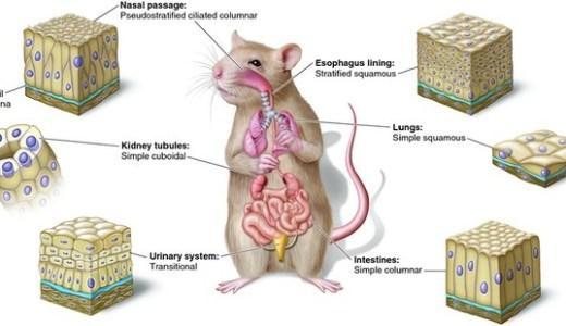動物の組織-上皮組織-