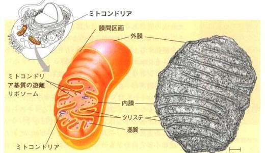 呼吸の仕組み-解糖系・クエン酸回路・電子伝達系-