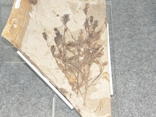 地質時代-陸上植物の繁栄- | バ...