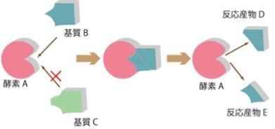 酵素反応はどのように基質と出会うのか バイオハックおうちで学べる