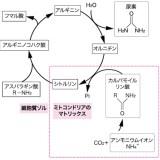 オルニチン回路(尿素回路)